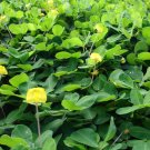 USA Product5 PERENNIAL PEANUT Pinto Ground Cover Yellow Flower Arachis Pintoi Legume Seeds