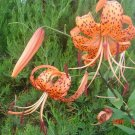 USA Product20 Orange TURKS CAP Tiger LILY Lilium Superbum Flower Seeds + Gift & Comb S/H