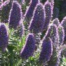 USA Product50 Blue PRIDE OF MADEIRA Echium Candicans Fastuosum Nectar Flower Seeds *CombS/H