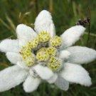 USA Product50 EDELWEISS Leontopodium Alpinum Flower Seeds + Gift & Comb S/H