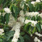 USA Product15 ARABICA COFFEE Tree Shrub Seeds - Grow your own coffee! *Comb S/H & Free Gift
