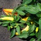 USA Product200 HEIRLOOM BANANA PEPPER Sweet Yellow Capsicum Annuum Vegetable Seeds *Comb SH