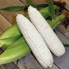 USA Product100 COUNTRY GENTLEMAN WHITE CORN Sweet Heirloom Zea Mays Vegetable Seeds + Gift
