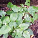 USA Product25 DWARF HORTICULTURE BEAN Taylor Long French Phaseolus Vulgaris Vegetable Seeds