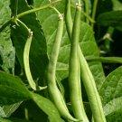 USA Product50 BURPEE STRINGLESS GREEN POD BEAN French Phaseolus Vulgaris Vegetable Seeds