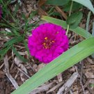 USA Product250 VIOLET QUEEN ZINNIA Elegans Purple Double Dahlia Heirloom Flower Seeds +Gift