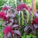 USA Product250 BURGUNDY AMARANTHUS Hypochondriacus Amaranth Grain Vegetable Flower Seeds