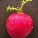 USA Product500 CHAMPION RADISH Sweet Scarlet Red Raphanus Sativus Root Vegetable Seeds