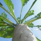 USA Product500 JAPANESE MINOWASE RADISH Huge Daikon White Raphanus Sativus Vegetable Seeds