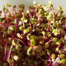 USA Product250 RED ARROW SPROUTING RADISH MiniGreen Daikon Raphanus Sativus Vegetable Seeds