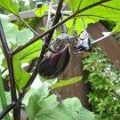 USA Product300 FLORIDA MARKET EGGPLANT Purple Aubergine Solanum Melongena Vegetable Seeds