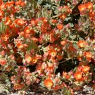 USA Product20 Apricot DESERT GLOBEMALLOW Mallow Sphaeralcea Ambigua Flower Seeds *Comb Ship