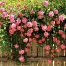 USA Product5 PINK CLIMBING ROSE Rosa Bush Vine Climber Fragrant Butterfly Flower Seeds
