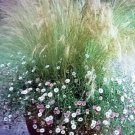USA Product25 MEXICAN FEATHER GRASS Pony Tails Ornamental Stipa Tenuissima Seeds Wind Whisp