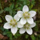 USA Product50 GRASS OF PARNASSUS FLOWER Parnassia Glauca American Fen Grass Wetland Seeds