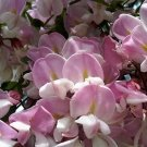 USA Product15 ROSE LOCUST / PINK ACACIA Flower Robinia Hispida Fertilis Tree Shrub Seeds