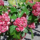 USA Product20 ENGLISH HAWTHORN TREE Edible Fruit Flower Mayflower Crataegus Laevigata Seeds