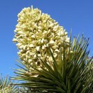 USA Product5 JOSHUA TREE Palm Tree Yucca Brevifolia White Flowers Cactus Succulent Seeds