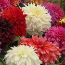 USA Product20 Mixed Colors REDSKIN DAHLIA Variabilis Red Skin Mix Bicolor Flower Seeds