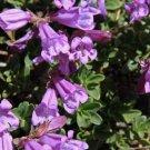 USA Product50 ALPINE PENSTEMON Davidsonii Davidson's Beardtongue Purple Flower Seeds + Gift
