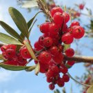 USA Product1 Oz Bulk SILVER BUFFALOBERRY Shepherdia Argentea Red Fruit Shrub - 2,150 Seeds