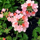 USA Product25 ORGANIC Florist PEACH VERBENA Grandiflora Fragrant Groundcover Flower Seeds