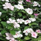 USA Product100 BRIGHT EYES PERIWINKLE Vinca Rosea Dwarf White & Pink Flower Seeds *Comb S/H