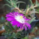 USA Product25 STARDUST ICE PLANT Mesembryanthemum Delosperma Floribunda Purple Flower Seeds