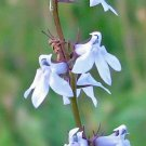 USA Product300 PALESPIKE LOBELIA Upright Light Blue Pale Spiked Spicata Flower Seeds + Gift