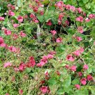USA Product100 PINK QUEEN TWINSPUR Diascia Barberae Flower Seeds Evergreen Houseplant +Gift