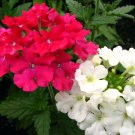 USA Product50 SCARLET VERBENA Red Nana Compacta Fragrant Flower Seeds *Combined Shipping