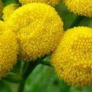 USA Product100 YELLOW TANSY Double Golden Buttons Fern Leaf Tanacetum Vulgare Flower Seeds