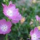 USA Product50 PINK CHECKERMALLOW Sidalcea Hendersonii Henderson's Checkerbloom Flower Seeds