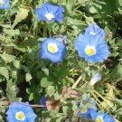 USA Product25 BLUE CHILEAN BELLFLOWER Nolana Paradoxa Succulent Ground Cover Flower Seeds