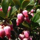 USA Product20 BEARBERRY Arctostaphylos Uva-Ursi Kinnikinnick Pinemat Manzanita Flower Seeds