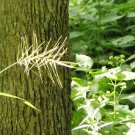 USA Product25 BOTTLEBRUSH GRASS Ornamental Shade Elymus Hystrix Patula Seeds *Combined Ship
