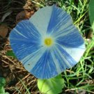 USA Product50 Blue & White FLYING SAUCERS MORNING GLORY Flower Vine Ipomoea Purpurea Seeds