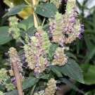 USA Product5 TRUE PATCHOULI Shrub Fragrant Patchouly Pogostemon Cablin Herb Seeds *Comb S/H