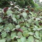 USA Product300 PURPLE SHISO aka PERILLA Frutescens Ornamental Herb Seeds Green & Purple