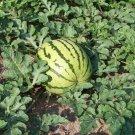 USA Product50 DIXIE QUEEN WATERMELON White & Red Citrullus Lanatus Melon Fruit Vine Seeds