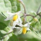 USA Product100 WONDERBERRY aka Sunberry Solanum Burbankii Fruit Berry Shrub Seeds *Comb S/H