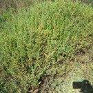 USA Product75 SALTWORT Okahijiki Japanese Greens Salsola Komarovii Leaf Vegetable Seeds