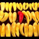 USA Product25 PETIT MARSEILLAIS PEPPER Orange French Capsicum Annuum Vegetable Seeds