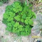 USA Product500 FOREST GREEN PARSLEY Petroselinum Crispum Double Triple Curl Vegetable Seeds