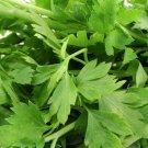 USA Product1000 GARNET STEM CATALOGNA ENDIVE Red Italian Chicory Cichorium Endivia *CombS/H
