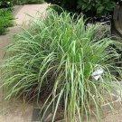 USA Product100 LEMONGRASS Lemon Grass Herb Vegetable Ornamental Cymbopogon Flexuosus Seeds