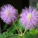 USA Product100 MIMOSA / SENSITIVE PLANT Schrankia Uncinata Flower Seeds + Gift & Comb S/H