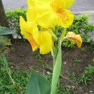 USA Product5 YELLOW CANNA LILY Indian Shot Canna Indica Flower Seeds + Gift & Comb S/H