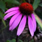 USA Product1000 PURPLE CONEFLOWER Echinacea Purpurea Flower Seeds + Gift & Comb S/H