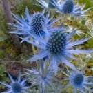 USA Product25 BLUE STAR SEA HOLLY Eryngium Flower Seeds + Gift & Comb S/H